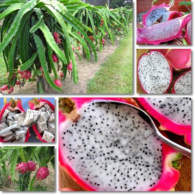 Dragon fruit 2